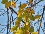 Šarenilo bukvina lišća, stablo uz pločnik u parku kod Lhotkine ulice. Snimio: Vanja
