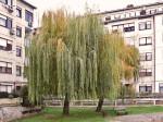 Žalosne vrbe u Vrbanima kod Travanjske ulice. Snimio: Vanja