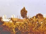 Kukuruzišta koja okružuju jarunsku šljunčaru [VT 1978.]