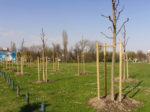 Novozasađen drvored na prostranoj livadi na Ciglenici [GP 2020.]