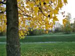 Javor s vrtovima kod okretišta tramvaja Jarun u pozadini. Snimio: Vanja
