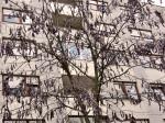 Stablo gledičije sa karakterističnim mahunama pored novih zgrada (tzv. Baschiera-blok) na početku Horvaćanske ceste. Snimio: Vanja