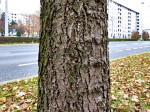 Kora meni nepoznatog drva kod Petrovaradinske ulice. Snimio: Vanja