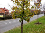 Još jedna nepoznanica – stablo. Zna li netko koje je to drvo? Snimio: Vanja